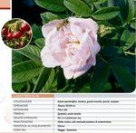 rosa rugosa perkunas alba