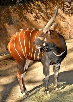 """""""Are my stripes still there?"""" Bongos typically have 10-14 vertical white stripes."""
