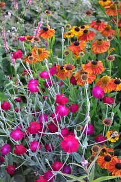 Rose Campion and Heleniums Sun Garden, Love Garden, Shade Garden, Garden Plants, Small Garden Design, Plant Design, Claire Austin, Green Farm, Planting Plan