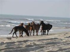 The Wild Horse on the Outer Banks.. Can't Wait