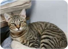 Pictures of JASPER a Domestic Shorthair for adoption in Dallas, TX who needs a…