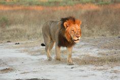 Lion, Moremi Game Reserve, Botswana Okavango Delta, Game Reserve, African Safari, Safari Animals, Wild Life, Big Cats, Tigers, Elephant, Creatures