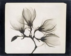 Xray of Magnolia flowers art print, Antique x-ray photo, Black and white nature photography, Floral, Botanical, Natural and minimal, Flora