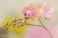 Miniature Orchid PRINT and CANVAS gallery by HPaquinPhotography