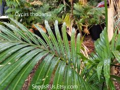 Cycas thouarsii- Rre Cycad - FREE SHIPPING - Madagascar Cycad by SeedsRUs on Etsy