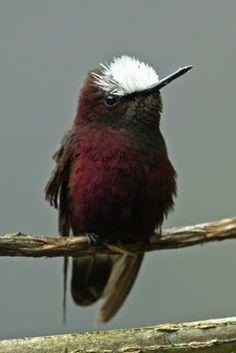 Snow-cap is a small hummingbird
