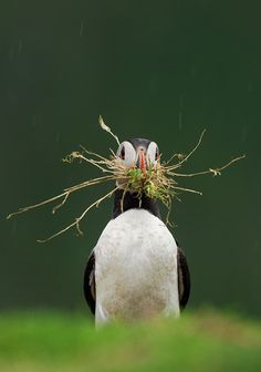 puffin returns from the depot with DIY nest materials.