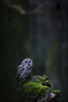 The Tawny Owl by Jiri Michal…[wonderous-world][denlArt] Strix Aluco, Tawny Owl, Mystical Forest, Beautiful Owl, Bird Artwork, Mundo Animal, Nature Tree, Animal Totems, Bird Pictures