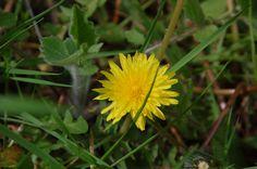 Taraxacum officinale, common dandelion, pissenlit, キク科タンポポ属セイヨウタンポポ May 2016