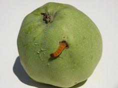 Fellbeisser Tierschutznachrichten Tierrechte News Apple, Fruit, Author, Animal Rights, Animal Rescue, Animals, Apple Fruit, Apples