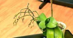 Cum apreciem dacă orhideea e mulțumită de lumina pe care o primește Wisteria, Paradis, Gardening, Home, Green, Plant, Lawn And Garden, Horticulture