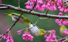 White-eyes perch on branches among flowers at Fuzhou national forestry park in Fuzhou City, southeast China