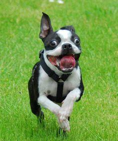 Boston Terrier on the run.