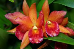 Red and Peach Orchids