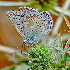 Common Blue on its Thistle