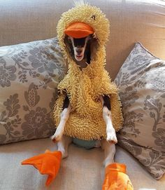 Rescue goat gets a duck costume — and it eases her anxiety. its like clothes depression being used medically!
