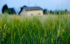 Macro Green Wheat Field House   Macro Green Wheat Field House is an HD desktop wallpaper posted in our free image collection of nature wallpapers. You can download Macro Green Wheat ...