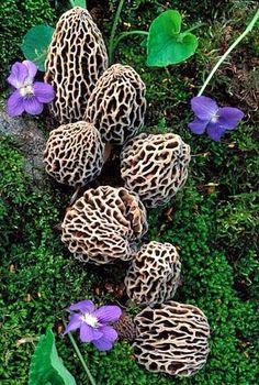 pilze anhand ihrer merkmale bestimmen home pilzvereine schweiz pinterest pilze und schweiz. Black Bedroom Furniture Sets. Home Design Ideas