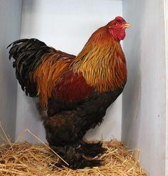 agen sabung ayam online - Klik picture for information Chicken, Pictures, Photos, Grimm, Cubs