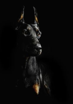 The Doberman Pinscher is among the most popular breed of dogs in the world. Known for its intelligence and loyalty, the Pinscher is both a police- favorite bree Big Dogs, I Love Dogs, Cute Dogs, Dogs And Puppies, Black Doberman, Doberman Love, Beautiful Dogs, Animals Beautiful, Cute Animals