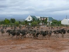 Ostrich Farm in Outshoorn (Mooiplaas) Out Of Africa, My Land, Places Ive Been, South Africa, Old Things, Van, Country, Beautiful, Rural Area