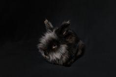 black lion head rabbit