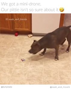 Big Pitbull is Scared of Tiny Drone - Listen to his teeth when he nips at it. I bet there's power in those jaws. Funny Animal Memes, Dog Memes, Funny Animal Pictures, Cute Funny Animals, Funny Dogs, Cute Puppies, Cute Dogs, Dogs And Puppies, Big Pitbull