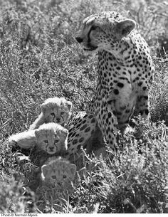Norman Myers   Nana watched a mother with 3 cubs bring down a gazel