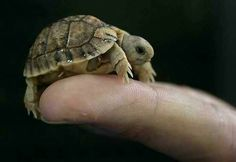 Very cute tiny turtle. Very cute tiny turtle. - Animals, Cute - Check out: Tiny Turtle on Barnorama Cute Creatures, Beautiful Creatures, Animals Beautiful, Beautiful Boys, Cute Baby Turtles, Cute Baby Animals, Turtle Baby, Pet Turtle, Small Animals
