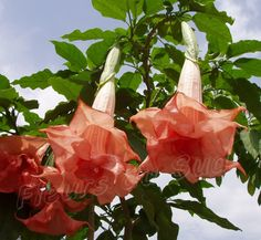 Brugmansia Candida Phänomenal: another beauty I'd love to have.