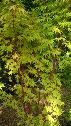 Acer Palmatum Sango Kaku has beautiful contrasted stem and leaves.  Max Height 6m. Max Spread 5m. Prefers to be planted in full sun.  ornamental tree with deeply lobed orange-yellow leaves turning a soft yellow in autumn but it is for its attractive coral-red stems in winter that makes this plant so popular.  Its twigs and branches give a stunning display turning coral pink - a wonderful addition to a garden in a season when there's usually not much bright colour to be found.