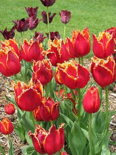 Tulip 'Lambada'  Photo courtesy Abbott-Ippco
