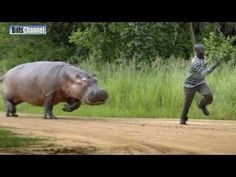As the poor sap who was mauled to death by his pet hippo unfortunately found out, hippos are not cute and cuddly--they are 5 ton murder machines. The hippopotamus is not a pet, it is nature's morbidly obese psychopath. Deadly Animals, Dangerous Animals, R Memes, Funny Memes, Funny Quotes, Hilarious, Image Gag, Videos Fun, Humor Videos