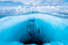 Photograph by @paulnicklen taken while on assignment for @natgeo. A ringed seal scans the horizon for polar bears through the glassy surface of its breathing hole. To avoid polar bears seals maintain several holes. I once watched a mother polar bear station her cubs near several seal holes while she waited at a hole of her own. When the air-starved seal finally emerged at her location she pounced and grabbed it. Without sea ice polar bears are not able to hunt. Please #follow me on…