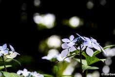 写真 額紫陽花