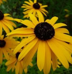 Buy Rudbeckia fulgida speciosa - Unusual Garden Plants Direct from PlantsToPlant Gold Flowers, Cut Flowers, Mixed Border, Bee Friendly Plants, Famous Gardens, Black Eyed Susan, Types Of Soil, Drought Tolerant, How To Level Ground