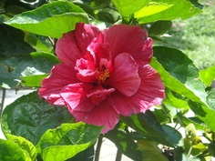 "Colombian Flower ""Hibiscus"" Come and visit us at www.going2colombia.com"