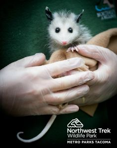 Orphan baby Virginia Opossum finds a home at Northwest Trek Wildlife Park