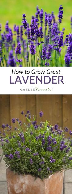 Lavender is a highly popular perennial (or tender perennial) that is used in both ornamental and herb gardens. Considered an 'evergreen shrub', there are a number of different species, and hundreds of cultivars. You will find planting instructions on each packet of seed. #gardentrends #lavender #englishlavender #spanishlavender #herbgarden #growyourown