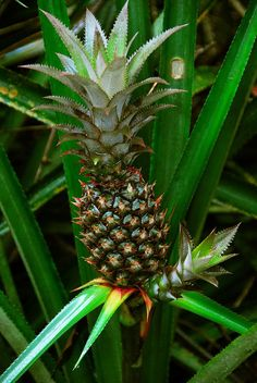 """No one knows when the first pineapple (""""halakahiki,"""" or foreign fruit, in Hawaiian) arrived in Hawai'i. Francisco de Paula Marin, a Spanish adventurer who became a trusted advisor to King Kamehameha the Great, successfully raised pineapples in the early 1800s. A sailor, Captain John Kidwell, is credited with founding Hawaii's pineapple industry, importing and testing a number of varieties in the 1800s for commercial crop potential. James Drummond Dole expanded pineapples' potential in…"""