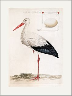 Stork antique engraving greeting card printed by giclee on velvety Crane Museo paper with rich color and sharp detail. Prints also available. Made in USA by Museum Outlets. Little Birds, Small Birds, Bird Illustration, Vintage Birds, Bird Prints, Bird Art, Botanical Prints, Natural History, Hand Coloring