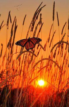 Monarch Butterfly in a field under an orange sunset