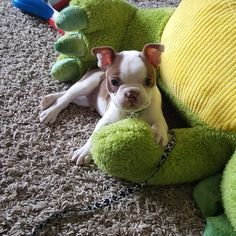 All kicked back | Boston Terrier Friendzy