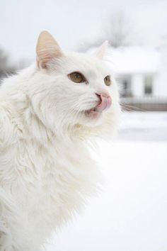 I used to have a white kitty like this one :(