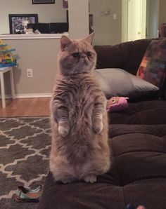 Meet George, The Cat That Loves to Stand on Two Legs