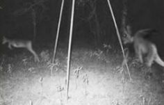 The new jersey devil is feared by even the bravest of people with it's scary and horrid looks you would never want to be stuck in the woods with this beast! Ufo, Images Terrifiantes, The Jersey Devil, New Jersey, Creepy Pictures, Scary Photos, Bizarre, Cryptozoology, Dark Paradise
