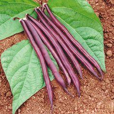 Royal Burgundy Bean - Territorial Seed