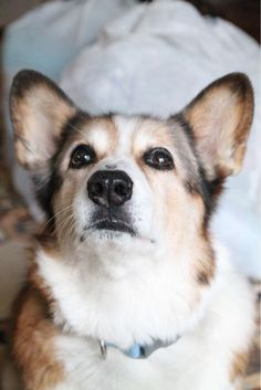 The Queens corgis — This is Nigel. He turned 14 today and he is a very...