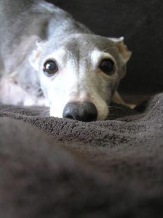 ~ Bow ~ Italian Greyhound-just love Bow! Reminds me of my baby Amelia she's not full Italian Greyhound.