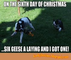 Our Boston terriers--Calvin and Hobbes